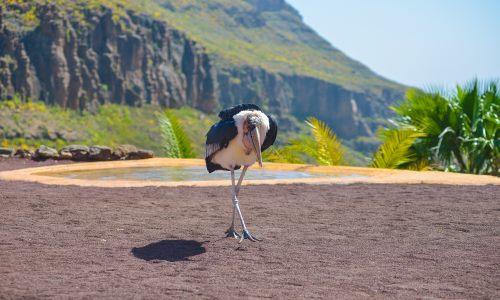 Marabu in Palmitos Park auf Gran Canaria