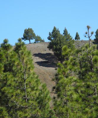 Spanien, Kanaren, La Palma, Kiefernwald