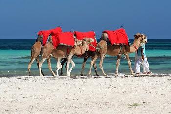 Drei Kamele laufen am Strand in Tunesien entlang.