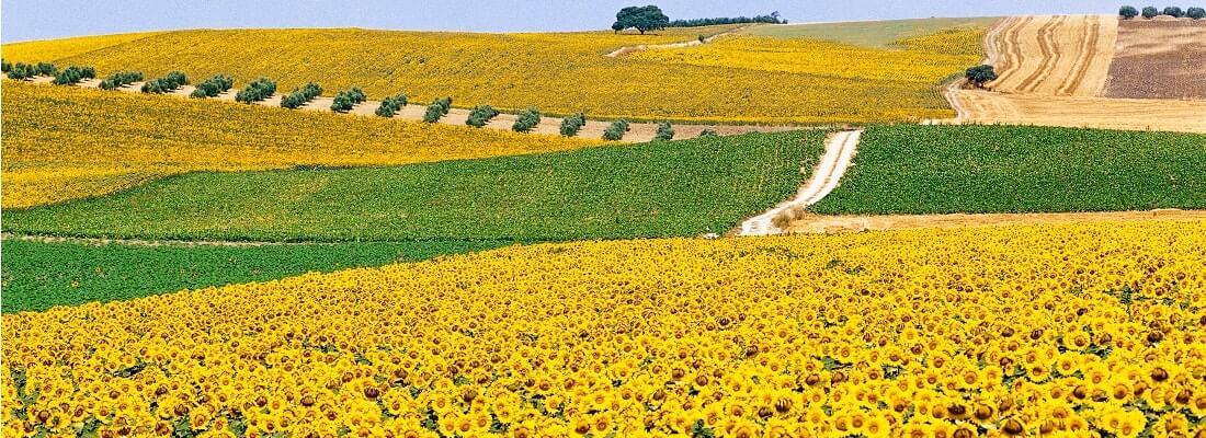 Sonnenblumenfeld in Andalusien, Spanien
