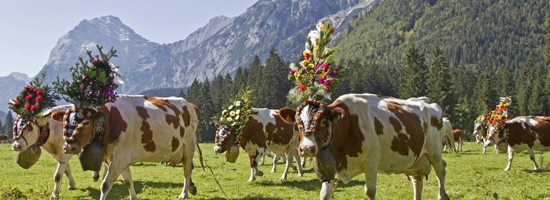 geschmückte Kühe beim Almabtrieb, Bayern