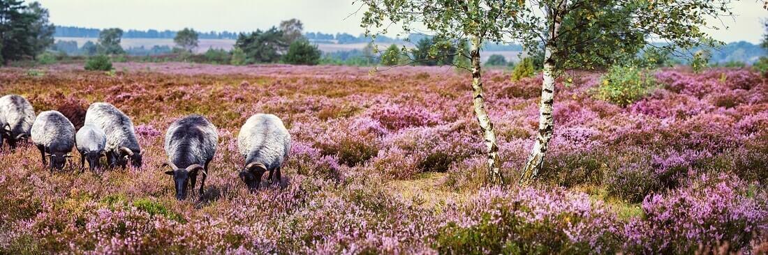 Lüneburger Heide Schafe